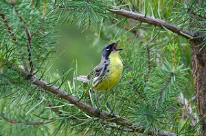 Kirtland Warbler