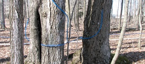 Maple Syrup Sap Lines